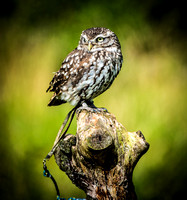 "Little Owl ""Yoda"""